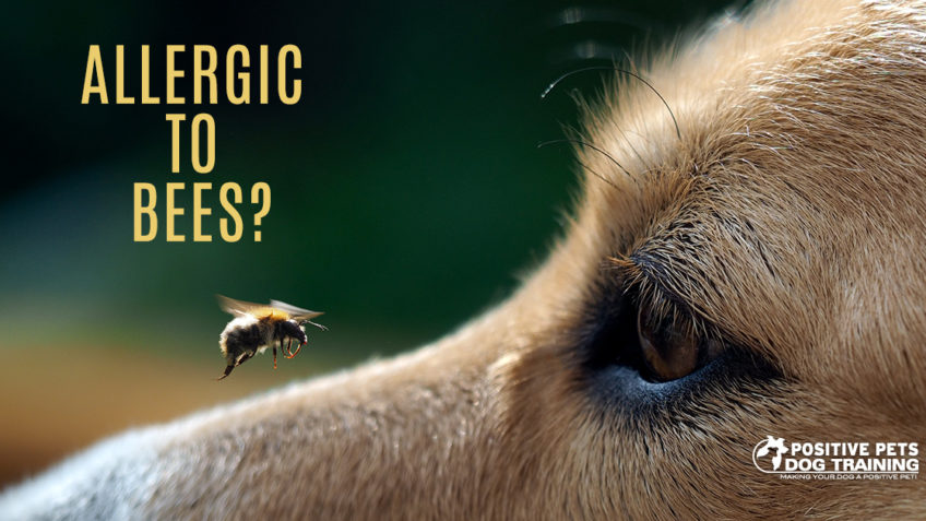 Are Dogs Allergic to Bees?