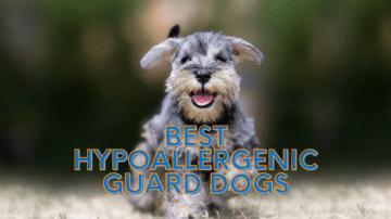 Best Hypoallergenic Guard Dogs